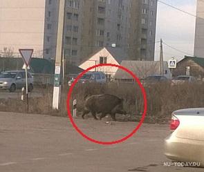 Под Воронежем сфотографировали разгуливающего по улице вепря