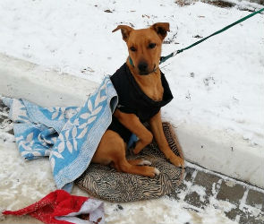 Воронежцы пожалели собаку в одеяле, просящую милостыню