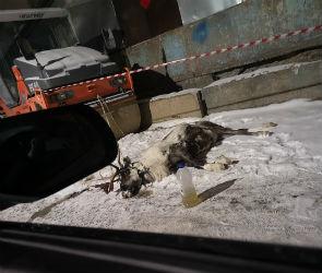 Воронежцы сообщили о смерти северного оленя, привязанного в промзоне