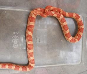 Стало известно, что за змею обнаружила жительница Воронежа в душе