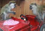 Мартышкам в Воронежском зоопарке устроили романтический ужин 14 февраля