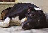 Воронежцев предупредили об участившихся случаях убийств и отравлений собак