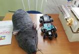 Машина Голдберга, чудо-мышь и «Айболит»: как прошел пятый «РОБОАРТ» в Воронеже