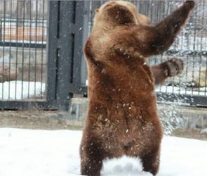 Воронежский зоопарк приглашает увидеть веселье медведей после спячки: ВИДЕО