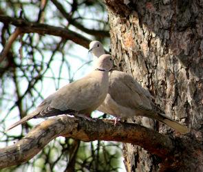 Любовную историю горлиц показали в заповеднике в Воронежской области
