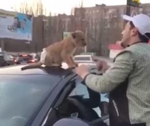 Воронежцы сняли на видео львенка в памперсе