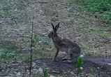 Редкий заяц-русак попал в фотоловушку в Воронежском заповеднике