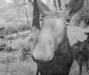 В Воронежском заповеднике лосиха и ее детеныши сделали «селфи»