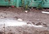 В воронежском дворе на улицу выпустили сотню декоративных крыс (ВИДЕО)