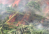 Воронежские коммунальщики сожгли 5 тысяч кустов дикой конопли