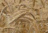 Более четырех миллионов тонн зерновых культур собрали воронежские аграрии
