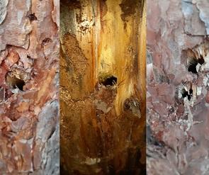 Воронежцы снова сообщили о вандале, изувечившем сосны в Северном лесу