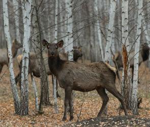 В Воронежскую область ради ценных рогов завезли маралов