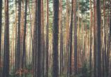 Мужчина из Россошанского района незаконно срубил более 100 сосен