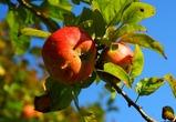 Под Воронежем появится яблоневый сад за 2 миллиарда рублей