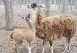 Воронежский зоопитомник показал на видео, как повзрослел детеныш ламы