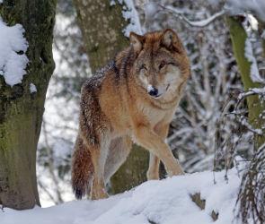 Под Воронежем пересчитают зайцев, волков, оленей и кабанов