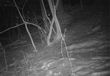 Вышедший на водопой в Воронежском заповеднике заяц попал на видео