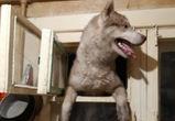 В Воронеже пес хаски, испугавшись грозы, попытался залезть в дом через форточку