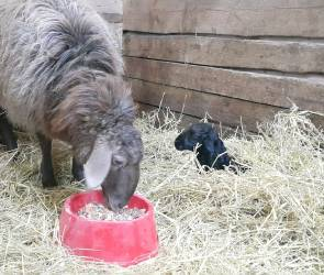 У пары овец из воронежского зоопитомника появился детеныш