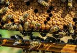 Воронежские власти поддержат развитие пчеловодства в регионе
