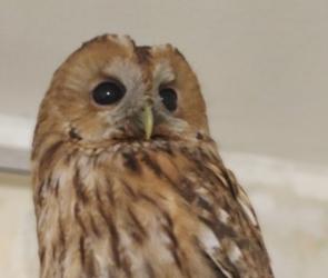 Воронежские зоозащитники выходили оголодавшую сову и выпустили ее на свободу