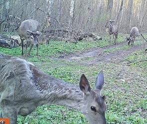 В объектив фотоловушки попали олени, обитающие в воронежском заповеднике