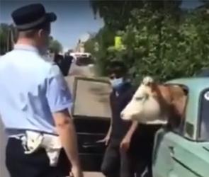 В Воронежской области сотрудники ГИБДД остановили машину с коровой в салоне