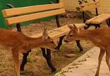 Бусинка и Карандаш: воронежцы передали в зоопарк двух детенышей косули
