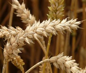 В Воронежской области собрали больше всего зерновых культур в ЦФО