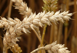 Воронежская область заняла лидирующую позицию по сбору зерновых культур в ЦФО