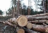 В Северном лесу приостановят «оздоровительную» вырубку деревьев