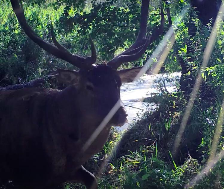 Сотрудники воронежского заповедника сняли на видео благородных оленей
