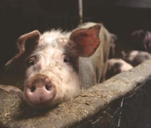 В Воронежской области из-за вспышки АЧС уничтожат 34 тысячи свиней