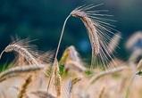 В Воронежской области собрали рекордные 6 млн тонн зерна