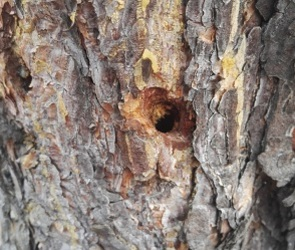 В Северном лесу воронежцы вновь обнаружили просверленные деревья