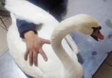В Воронеже начали сбор средств на извлечение пули из крыла раненого лебедя