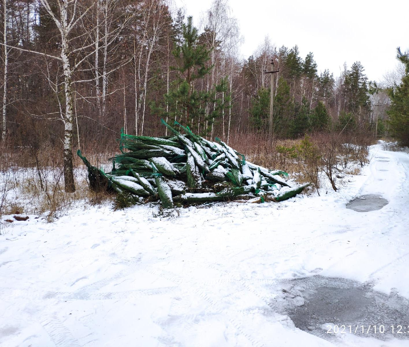 Воронежцы обнаружили кладбище «живых» елок