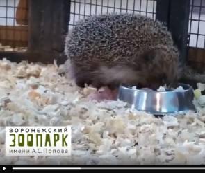 В Воронежском зоопарке после зимней спячки проснулся еж