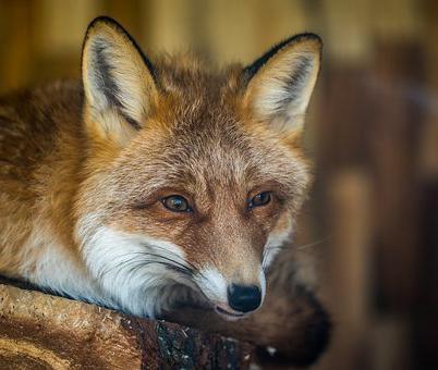Воронежские стрелки не успели получить разрешения на добычу лисиц