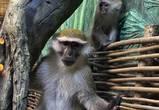 Мартышки, сурикаты и сервал: в зоопарке открыли новый зал с млекопитающими