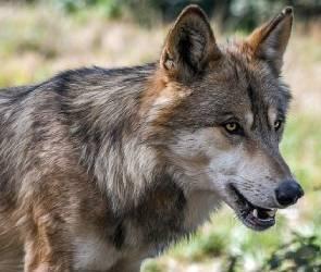 В Воронежской области бешеная волчица набросилась на мужчину около детсада