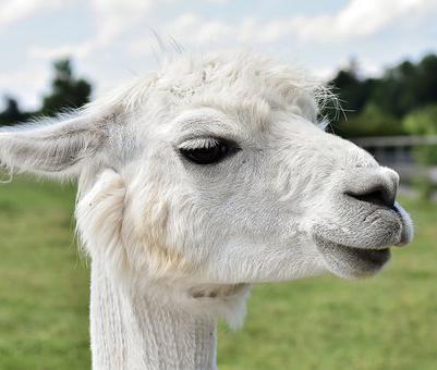 Летом в Воронежской области может появиться альпака-парк