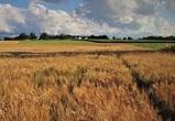 Из-за засушливой погоды воронежским аграриям пришлось пересеять 30% озимых