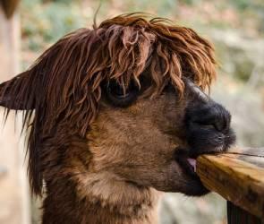 Воронежцы смогут погладить альпак в новом парке уже в августе