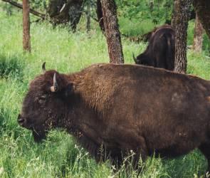 В воронежском «Червленом Яру» у бизонов родился детеныш